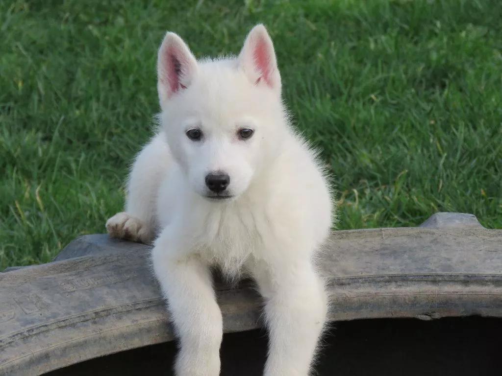 Le Gratuit Magnifiques Chiots Husky De Siberie Pour Adoption